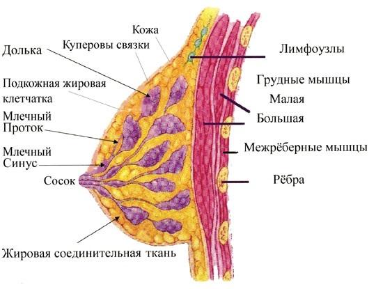 Как устроена женская грудь