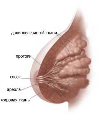 Как выглядит грудь изнутри
