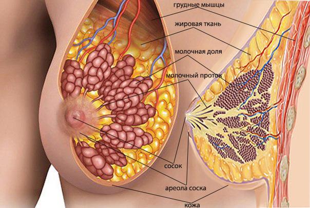 Вид груди изнутри