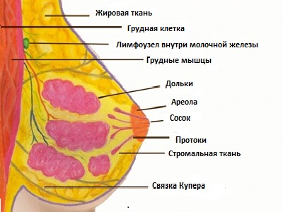 Анатомические особенности грудной железы