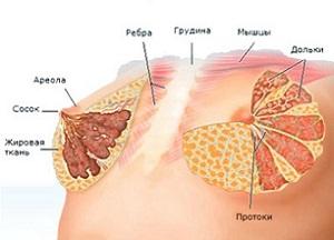 Анатомическое строение груди