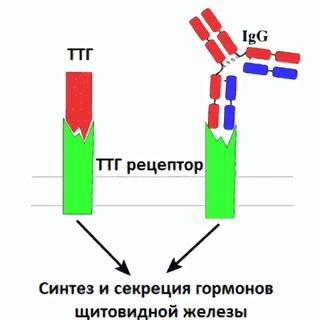 Антитела к рецепторам ТТГ не должны превышать отметку 1,5 мЕ/л