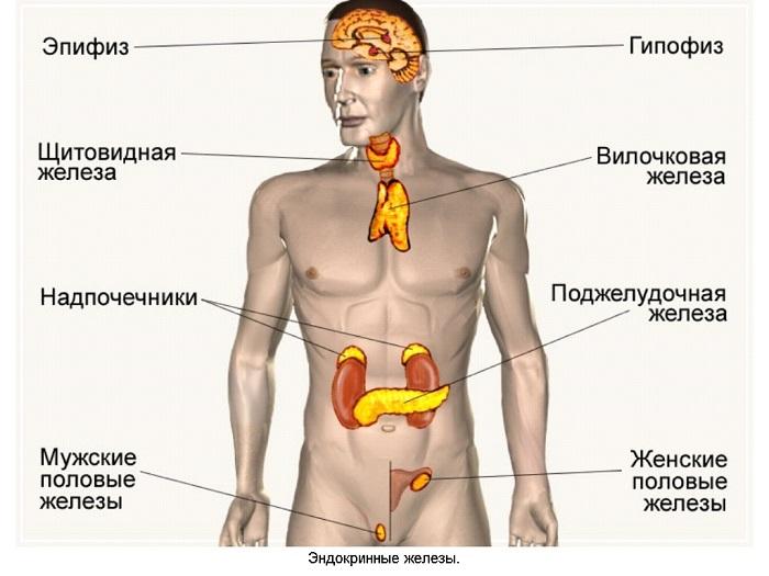 Причиной появления коллоидного зоба может быть нарушение в работе любого из органов эндокринной системы