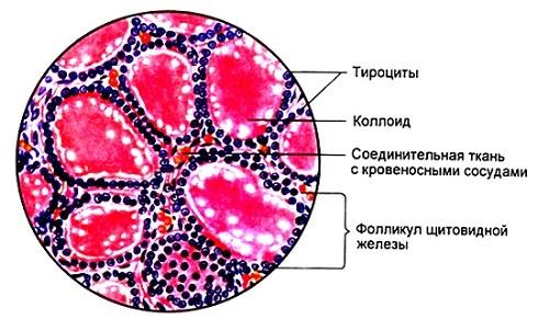 Щитовидная железа состоит из множества небольших фолликулов