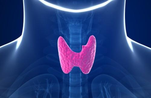 Щитовидная железе регулирует метаболизм в организме