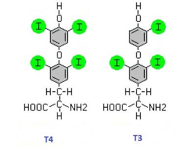 Щитовидная железа вырабатывает гормоны Т3 и Т4