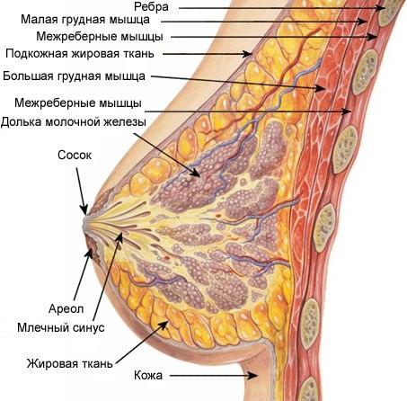 Как устроена молочная железа