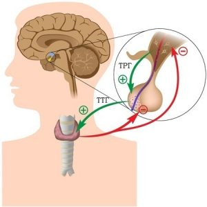Деятельность щитовидной железы контролируется головным мозгом