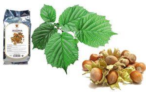 Для профилактики развития простатита используется настой из листьев или коры лещины