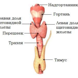 Щитовидная железа расположена в нижней части шеи