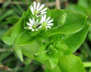 Мокрица используется при опухолях щитовидной железы