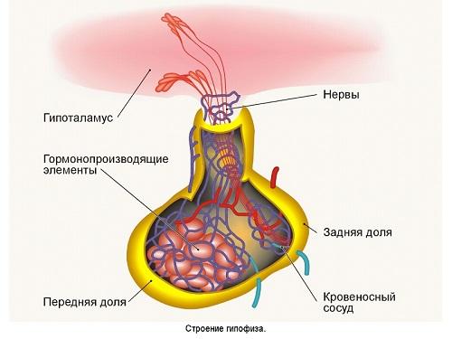 Изменения в показателях ТТГ возможны при патологиях гипофиза