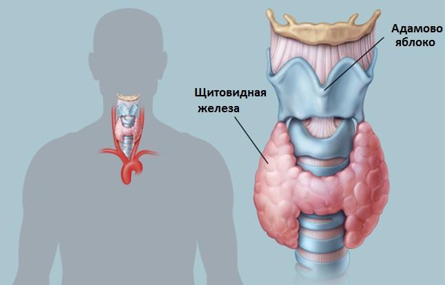 Щитовидная железа - чрезвычайно важный орган, посколько нарушения в его работе затрагивают весь организм