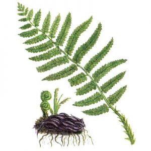 Наружное применение папоротниковых корней способствует лечению узлов щитовидки