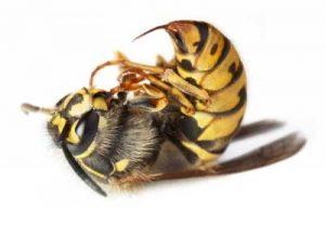 Подмор пчел можно использовать на начальных стадиях развития аденомы простаты