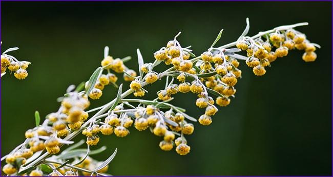 Цветки полыни необходимо залить кипятком и приготовить отвар