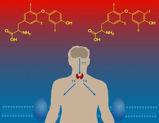 Повышение уровня гормонов щитовидки свидетельствует о гипертиреозе