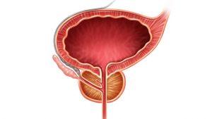 Функции предстательной железы
