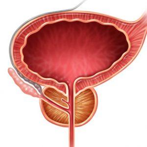 Предстательная железа расположена в малом тазу мужчины
