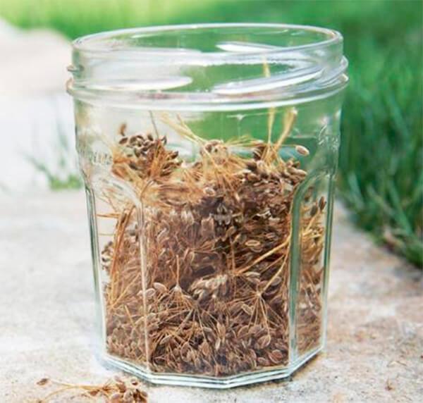 Для приготовления укропной воды семена заливаются кипятком