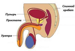 Простатит - наиболее распространенное заболевание предстательной железы