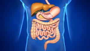 Гормоны щитовидной железы влияют на процессы пищеварения