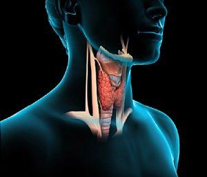 Щитовидная железа отвечает за нормальное развитие организма