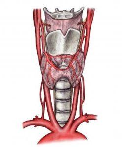 Щитовидная железа состоит из двух долей