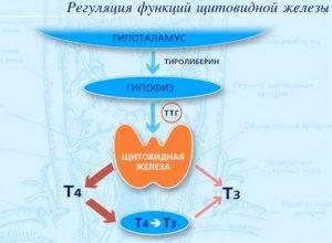 Щитовидная железа регулирует все процессы в организме