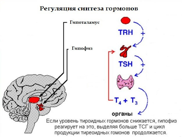 препараты гормоны щитовидной железы показания к применению