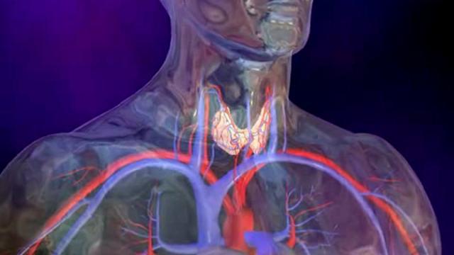 Щитовидная железа отвечает за регуляцию сердечно-сосудистой системы