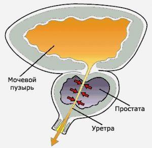 Предстательная железа вырабатывает секрет, который обеспечивает подвижность сперматозоидов