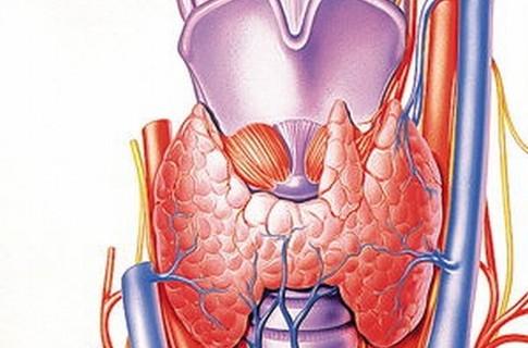 Щитовидка регулирует скорость обменных процессов в организме человека