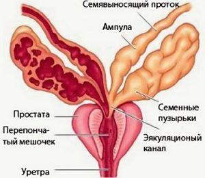 Предстательная железа выполняет секреторную функцию