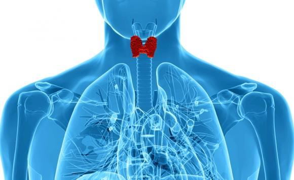 Щитовидная железа отвечает за регуляцию основных функций в организме человека