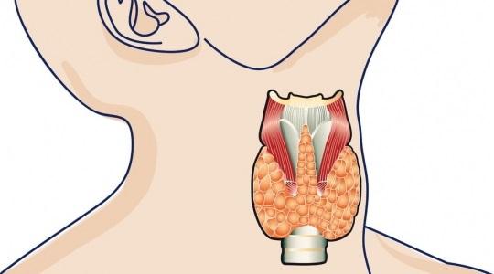 Щитовидная железа регулирует обмен веществ и от ее работы зависит функционирование всего организма