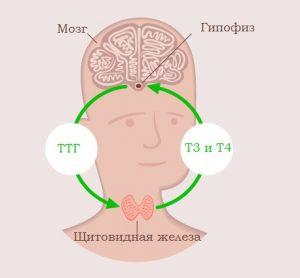 Щитовидная железа вырабатывает 3 вида гормонов