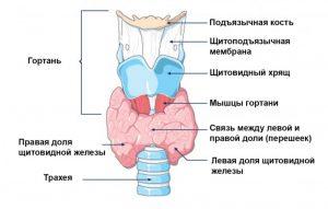 Щитовидная железа имеет форму бабочки