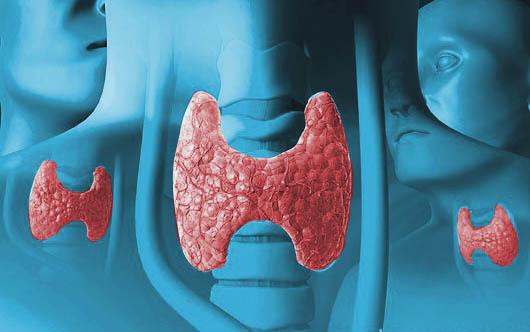 Щитовидная железа - самый крупный орган  эндокринной системы