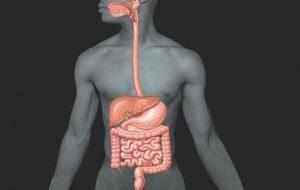 Щитовидная железа регулирует скорость пищеварения