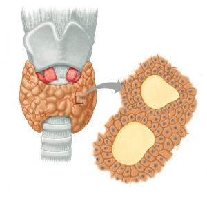 Щитовидная железа состоит из отдельных фолликулов