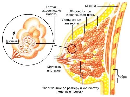 Как выглядит молочная железа