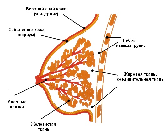 Как устроены молочные железы