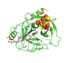Простат-специфический антиген состоит из аминокислот