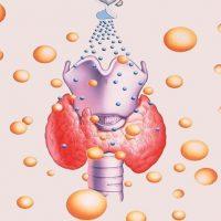 Щитовидная железа состоит из двух долей с перешейком
