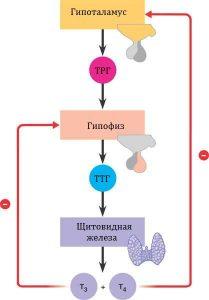 При гипофункции вырабатывается недостаточное количество гормонов щитовидной железы