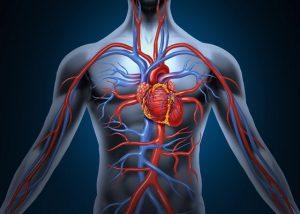 Щитовидная железа влияет на сердечно-сосудистую систему