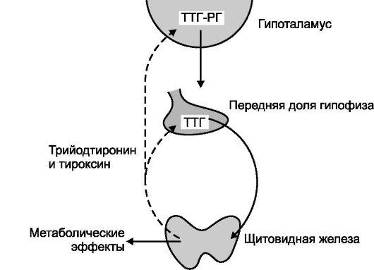 Тиреотропин вырабатывается гипофизом